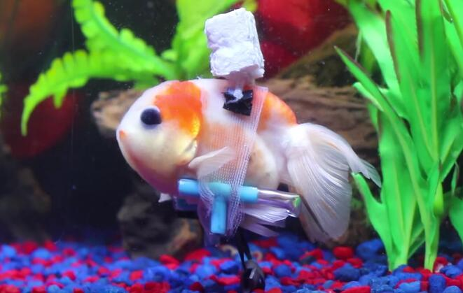 Wheelchair Goldfish.jpg